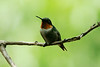 Ruby-throated Hummingbird @ Grand Glaize Creek