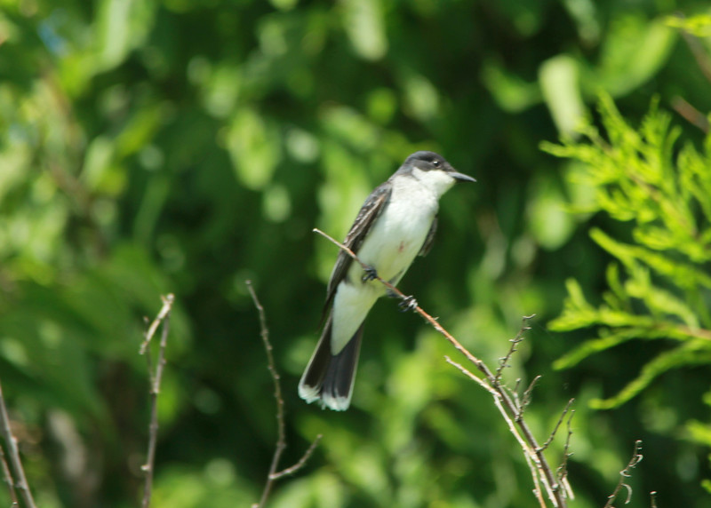 Eastern Kingbird @ Bellefontaine CA [Frog Pond]