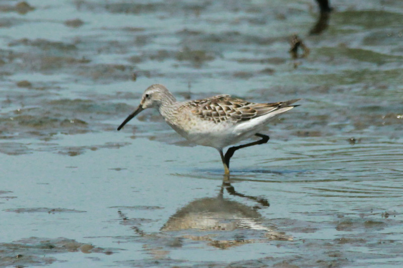 Stilt Sandpiper @ Confluence Point SP
