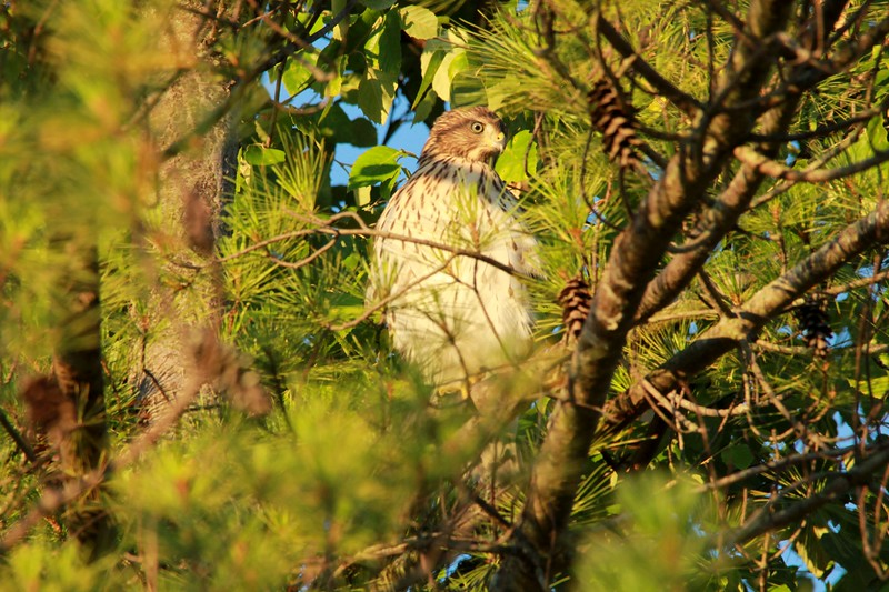Cooper's Hawk @ Grand Glaize Creek