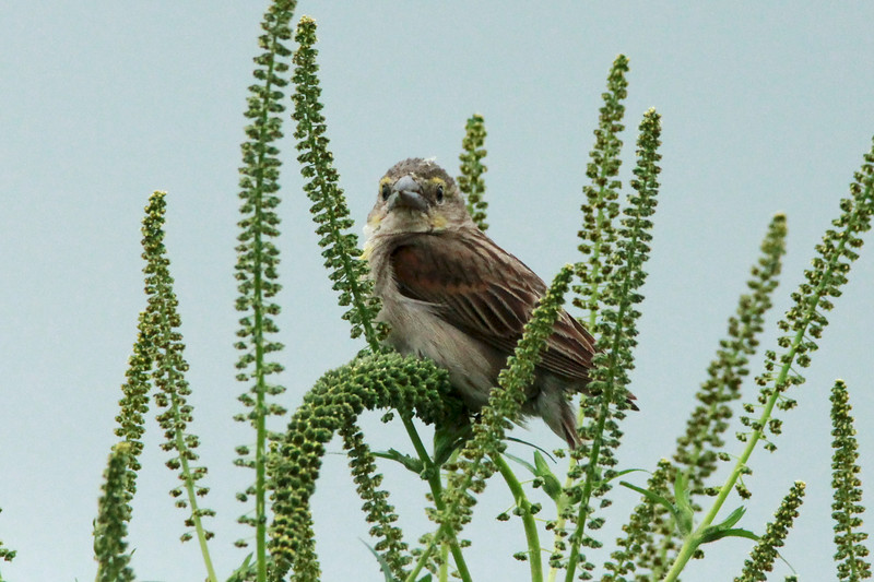 Dickcissel (Female) @ Columbia Bottom CA