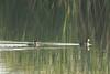 Pied-billed Grebes @ Bellefontaine CA [Bluegill Pond]