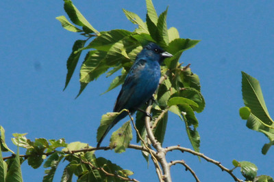 Indigo Bunting (Male) @ Bellefontaine CA [Bluegill Pond]