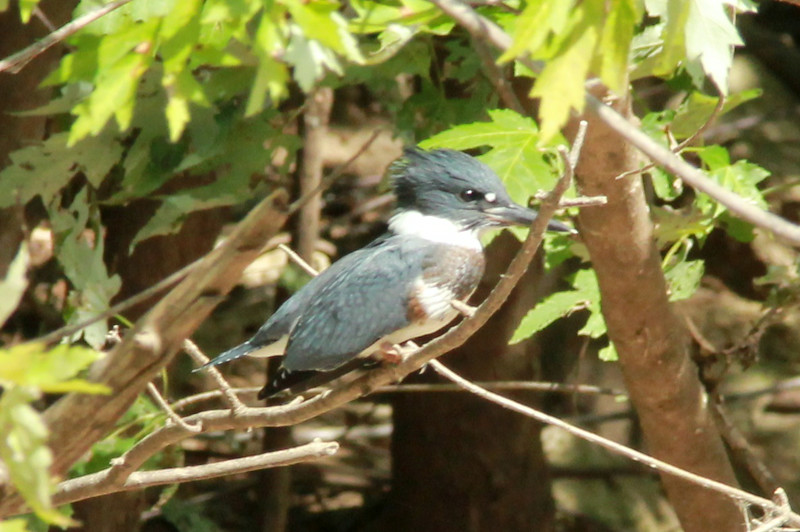Belted Kingfisher (Female) @ Simpson Lake CP [under Marshall Road]