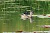 Wood Ducks @ Shaw Nature Reserve [Wetlands Trail]