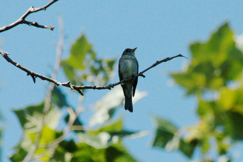 Eastern Wood-Pewee @ Clarence Cannon NWR
