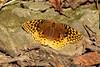 Great Spangled Fritillary Butterfly (Speyeria Cybele) @ Rockwoods Reservation [Lime Kiln]