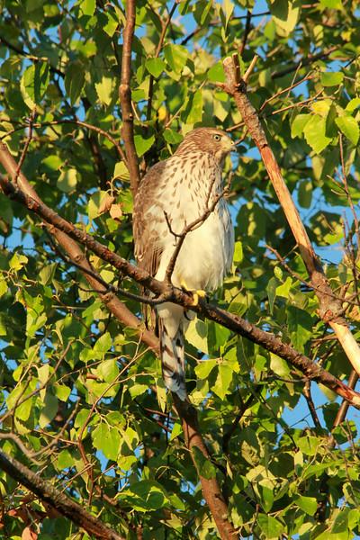 Cooper's Hawk @ Grand Glaize Creek