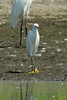 Snowy Egret @ Riverlands MBS [Confluence Road]