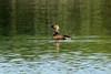 Pied-billed Grebe @ Bellefontaine CP [Bluegill Pond]