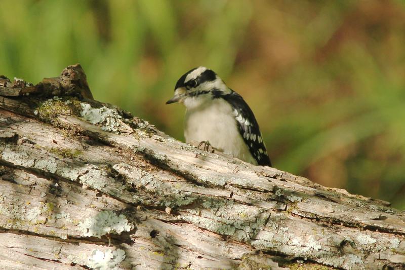 Downy Woodpecker (Female) @ Rockwoods Reservation