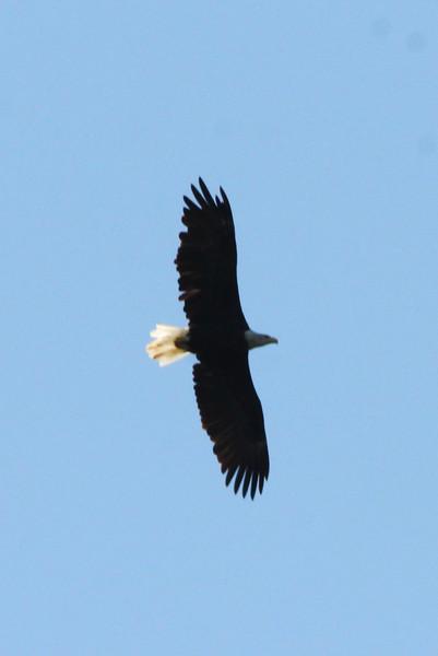 Bald Eagle @ Simpson Lake CP [Spillway]