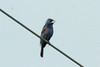 Blue Grosbeak @ Dalbow Road in O'Fallon