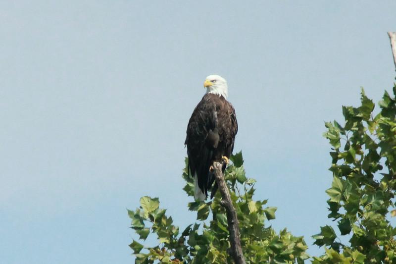 Bald Eagle @ Eagle Bluffs CA