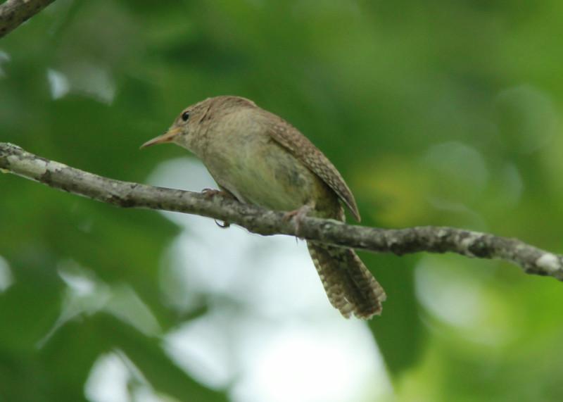 House Wren @ Shaw Nature Reserve [Bascom House gardens]