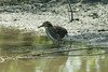 Green Heron @ Confluence Point SP