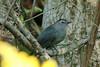 Gray Catbird @ Shaw Nature Reserve [Wetlands Trail]