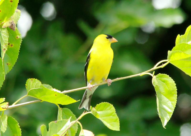American Goldfinch (Male) @ Big Muddy NFWR [Cora Island Unit]