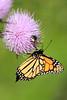 Monarch Butterfly (Danaus Plexippus) @ Columbia Bottom CA