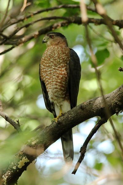 Cooper's Hawk @ Tower Grove Park [Gaddy Garden]