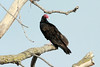 Turkey Vulture @ Dalbow Road in O'Fallon