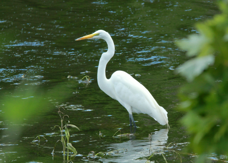 Great Egret @ Big Muddy NFWR [Cora Island Unit]