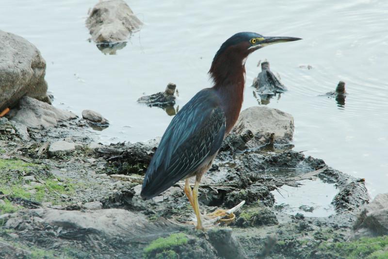 Green Heron @ Horseshoe Lake SP [Causeway]