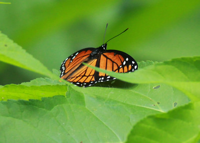 Viceroy Butterfly (Limenitis archippus) @ Big Muddy NFWR [Cora Island Unit]