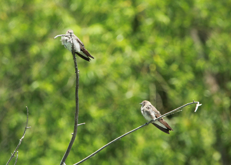 Northern Rough-winged Swallows @ Big Muddy NFWR [Cora Island Unit]