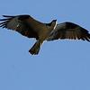Osprey @ Shaw Nature Reserve