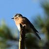 Eastern Bluebird @ Shaw Nature Reserve