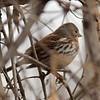 Fox Sparrow @ Columbia Bottom CA