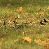 November 22, 2014 - (Horseshoe Lake State Park [near entrance] / Granite City, Madison County, Illinois) -- Rusty Blackbirds