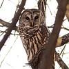 Barred Owl @ KATY Trail SP [Defiance]