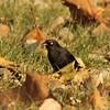 November 22, 2014 - (Horseshoe Lake State Park [near entrance] / Granite City, Madison County, Illinois) -- Male Rusty Blackbird