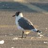 Franklin's Gull @ Carlyle Lake [South Shore Marina]