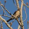 Cooper's Hawk @ KATY Trail SP [Defiance]
