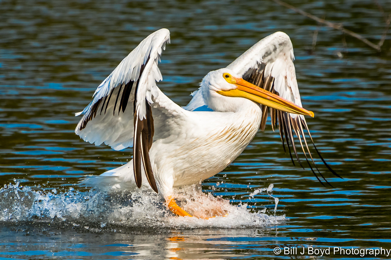 Pelican...White Rock Lake, Dallas, TEXAS