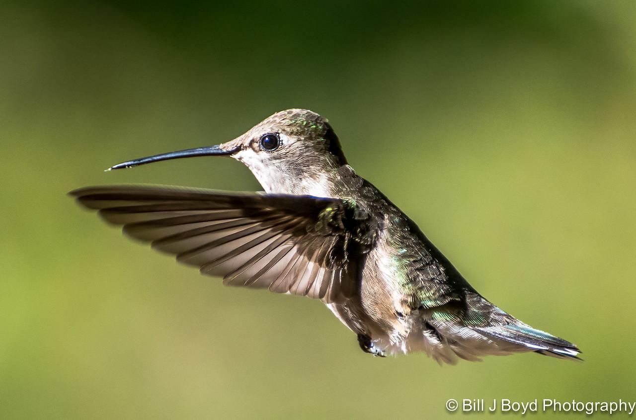 Hummingbird, Pedernales Falls SP, May 3, 2014