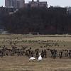 Snow Geese with Canada Geese at Van Cortlandt Park
