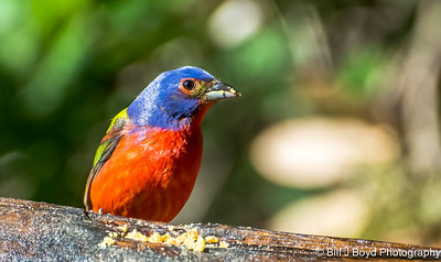 Painted Bunting, Male....Pedernales Falls SP, Texas