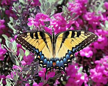 Male Tiger Swallowtail on Purple Sage