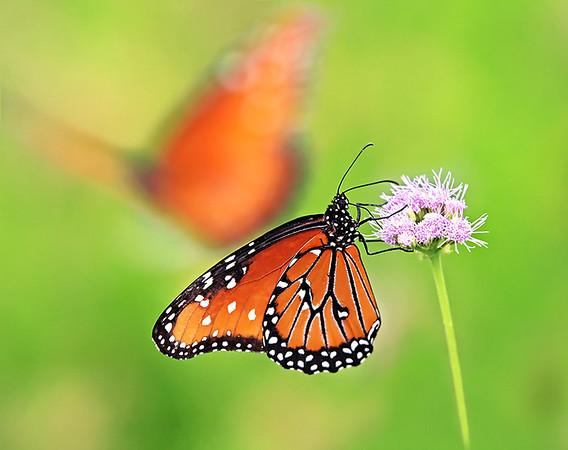 2014 Butterfly Calendars