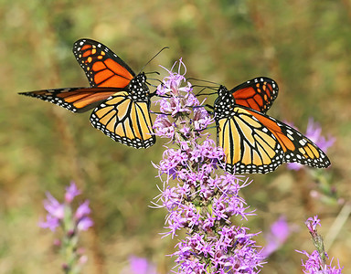 Migrating Monarchs in October