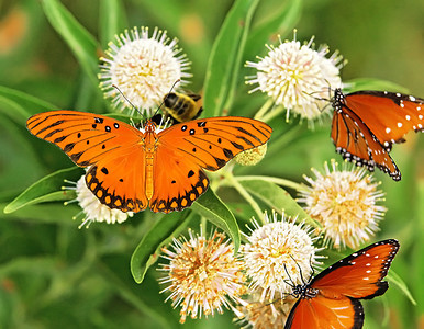 Gulf Fritillary with Queens.