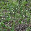 White Trillium patch (Trilium grandiforum)-turns pink with age