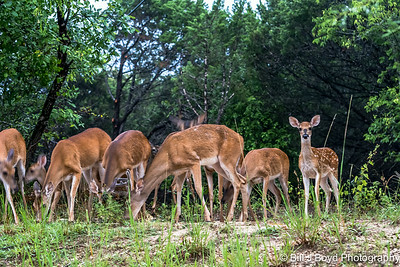 Backyard Deer...Austin, Texas...June 2014