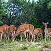 Backyard Deer...Austin, Texas...June 2014