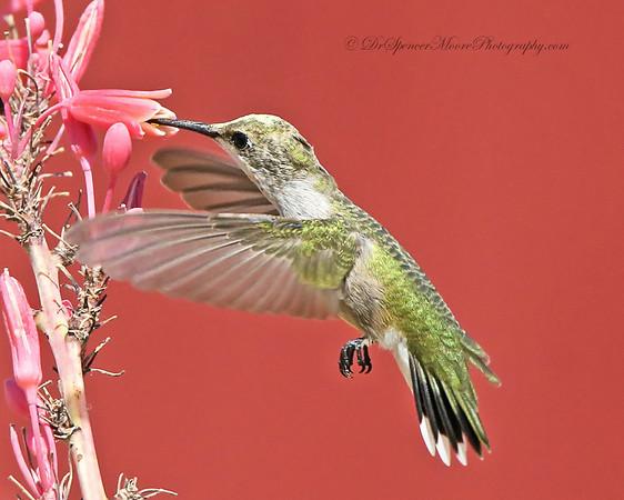 2014 Hummingbirds