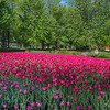Tulips_DowsLake_0020tnad